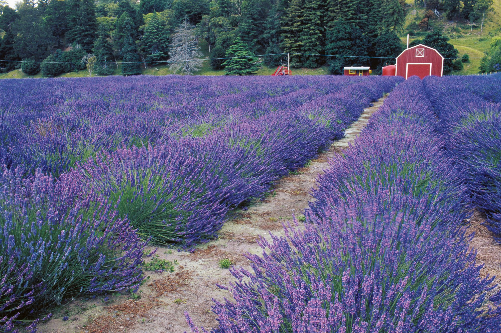 Lavender Blue New Zealand Geographic