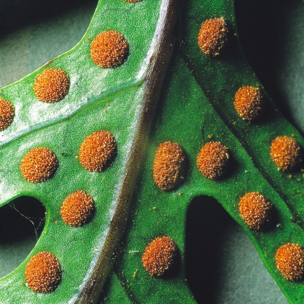 The backs of fertile fronds often possess prominent and exposed sori-felty brown aggregations of spore-containing sporangia.