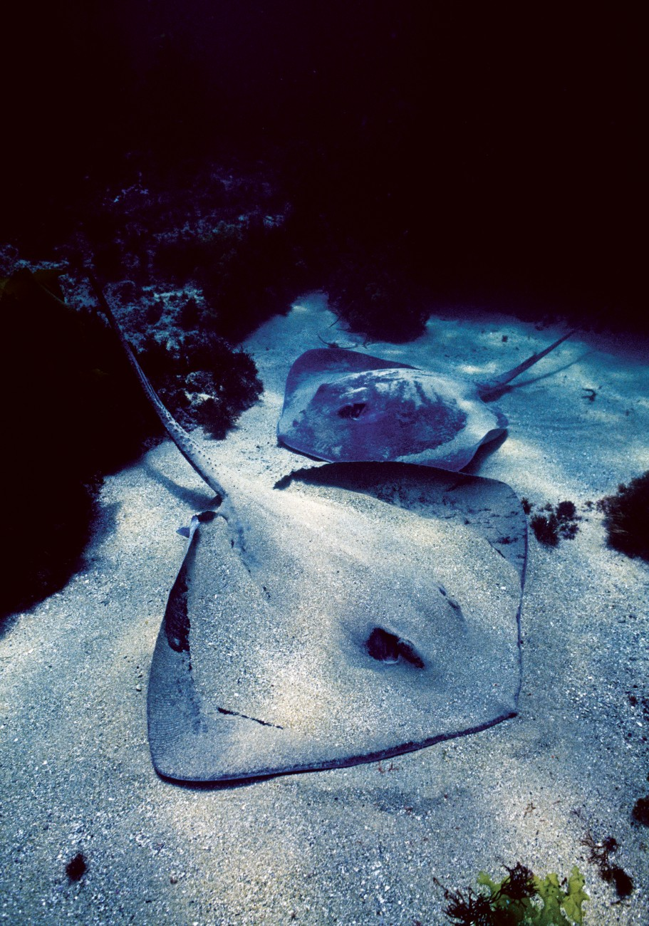 Rays settle on the bottom while feeding so that sometimes only their eyes and tail protrude from the sand. When this camouflage fails as a defensive measure they normally flee, but rays are also equipped with venomous barbs on the tail that lend a measure of menace to their stealth bomber appearance.