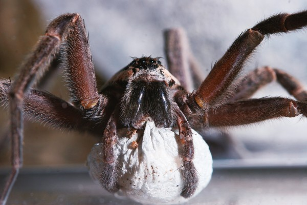Dolomedes have strong maternal instincts. This female D. aquaticus is carrying her large silk eggsac in her mouthparts, a task she will perform for 4-5 weeks, often forgoing feeding during this time.