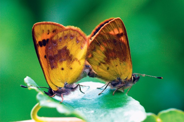 New Zealand coppers belong to the world's second-largest butterfly family, the Lycaenidae, about 6000 species strong. The exact number of New Zealand species remains the subject of much debate and broad estimates—anywhere from four to 40.