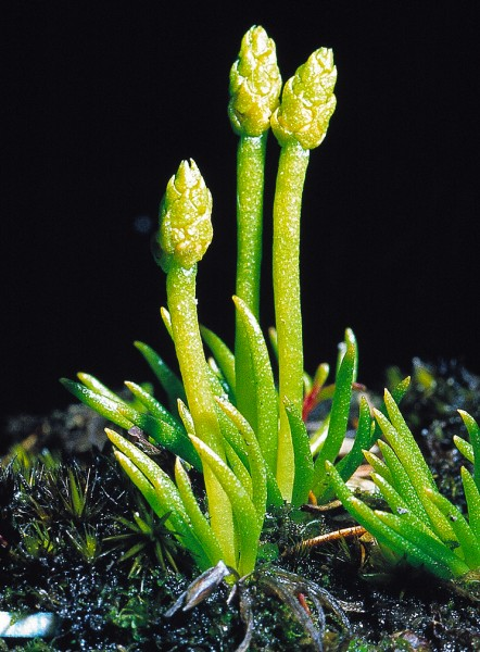 Looking most unfernlike, Phylloglossum drummondiiis a 2 cm-high clubmoss—a fern ally. Its habitat is unusual, too: exposed gumland clays and sands of low fertility, such as occur in Northland.