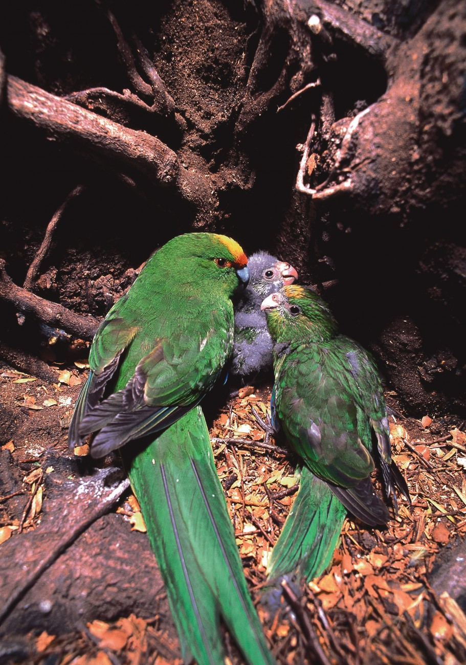 Yellow-crowned parakeets huddle in a nest. Kakariki lay 5–9 eggs in a clutch, each laid up to one or two days apart. Consequently the youngest hatchling in the nest may be two weeks younger than the eldest, and will fledge later as well.