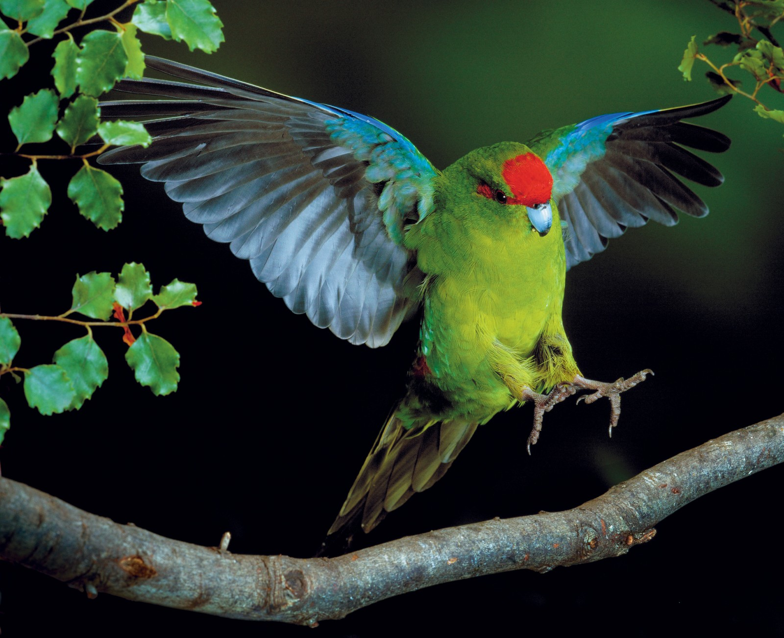 "A red-crowned parakeet exhibits its aerobatic prowess, swooping in to land on the branch of a southern beech tree. The extensive Nothofagus forests of the mainland once supported large populations of kakariki where they nested in hollow limbs, holes or stumps of trees, and relied on the regular fruiting, or beech mast, for food. Locally extinct on the mainland since the 1900s, red-crowned kakariki now reside only on offshore islands where there is less pressure from predators. However in 2001, and again in 2004, two pairs of red-crowned parakeets were reported in Porirua Scenic Reserve, probably having flown from Kapiti Island where, according to DOC's Colin Miskelly, kakariki are flourishing. ""They are the species that benefited most from rat eradication on Kapiti Island in 1996, with approximately four times as many birds counted after rat eradication as before"" he said. It could be an auspicious prelude to the long-awaited return of kakariki to the mainland."