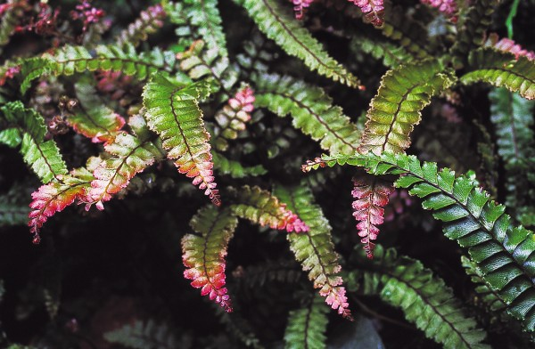 Young foliage on many ferns, such as the rosy maidenhair, Adiantum hispidulum, has a decidedly reddish tinge, and in a few species the tips of unfurling fronds are blue.