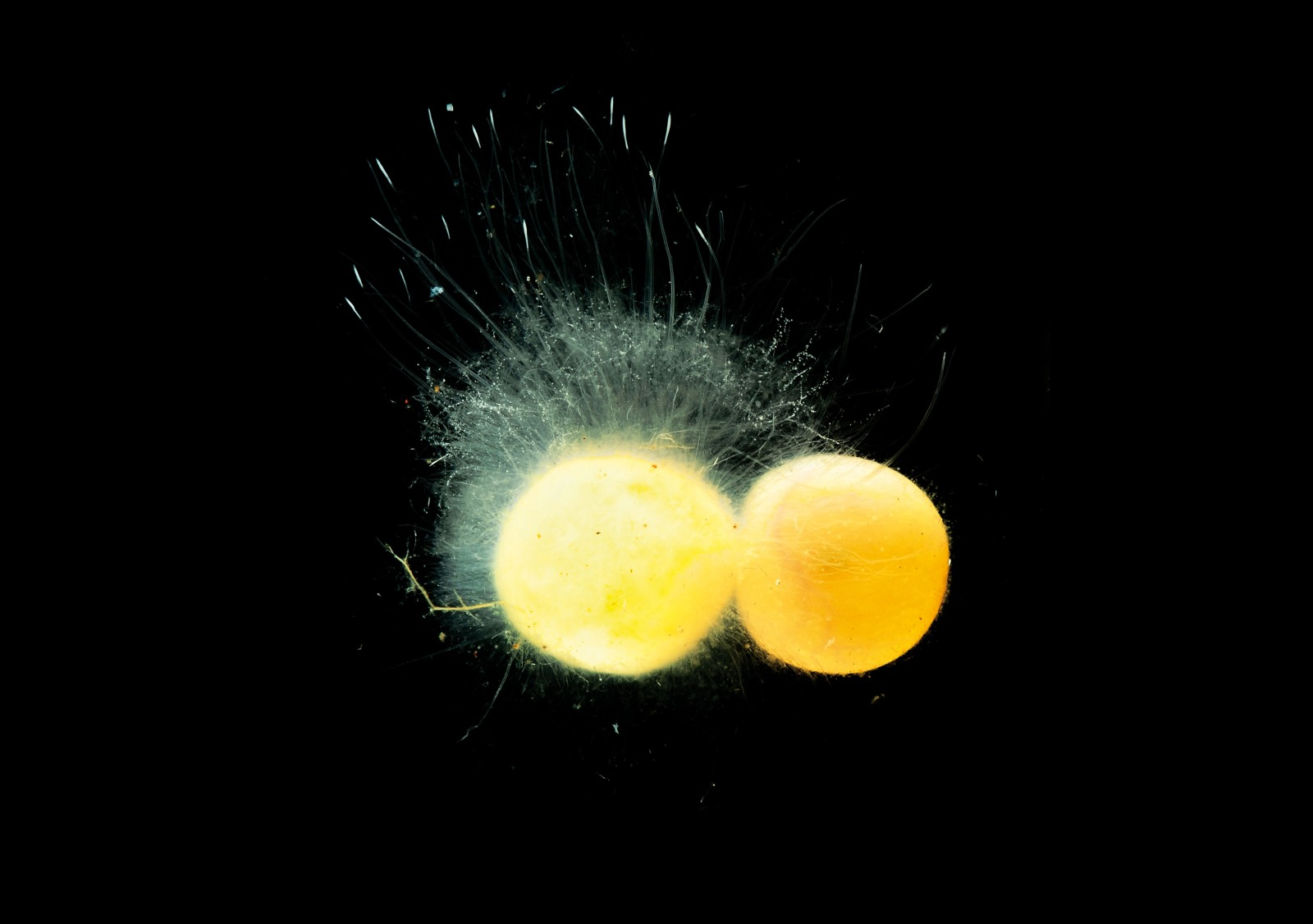 Even in the first days of life, the eggs are vulnerable. Those that are invalid at laying can become infested with Saprolegnia, a cotton wool-like fungus that can spread to healthy eggs also, sometimes resulting in the death of the whole clutch.