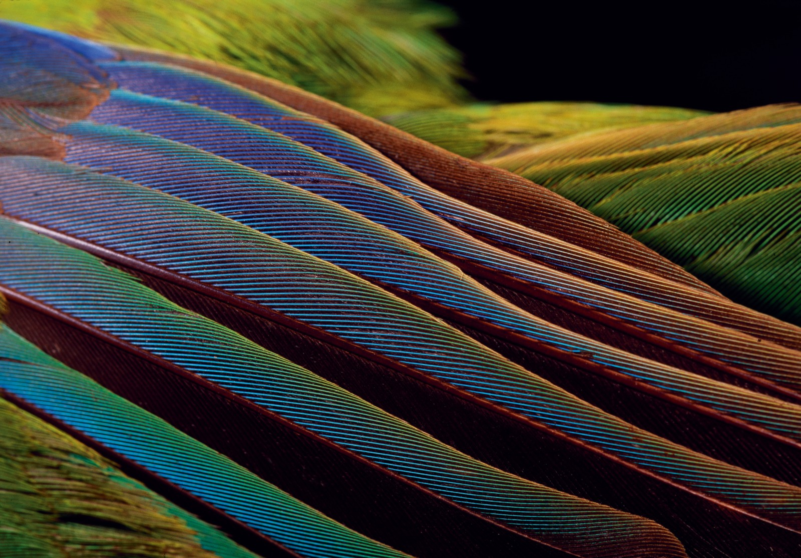 Kakariki distinguish themselves among New Zealand birds by their luminous plumage, displayed here on the iridescent wing of a red-crowned parakeet specimen in Otago Museum. But kakariki are also prone to radical colour mutations, invariably the result of hybridisation, as evidenced in the ultramarine example above. Colour morph varieties have been recorded for each of the mainland and offshore taxa. Most commonly the green colouration is replaced by another colour, generally yellow, but the blue wing colouration and crown usually remains. Sir Walter Buller reported numerous colour varieties including red-crowned parakeets with the back, rump and upper surface of the wings a mottled canary yellow and the tail entirely yellow. Colour morphs also affect other New Zealand avifauna. White kiwi have been observed over the years, the most recent in a Taranaki paddock, and a yellow kea was recently spotted in the South Island high country causing quite a stir in New Zealand ornithology circles. Early sources also record bright canary yellow kakapo and various colour morphs in kaka.