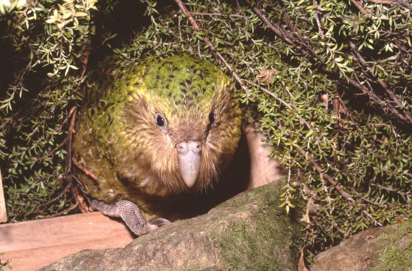 The kakapo of Codfish Island | New Zealand Geographic