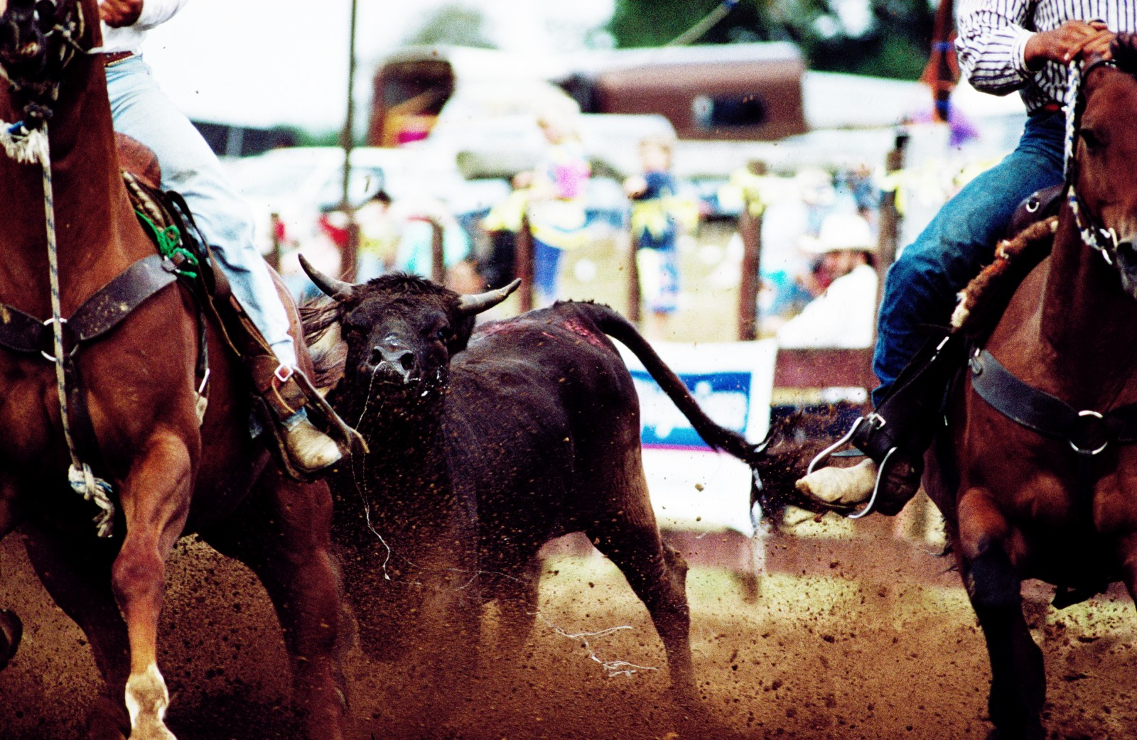 In rodeo, the glamour of the cowboy legend mingles with the brutish realities of dirt, sweat and muscle. Steer wrestling involves the contestant in a high-speed leap from horse to steer, followed by a brief tussle in which the cowboy tries to flip the animal on to its side. An assistant, called the hazer, rides beside the steer to keep it running straight, but even with the odds stacked two against one, the steer can still outsmart his would-be captors. This one stopped dead in his tracks, leaving the cowboys to ride futilely past.