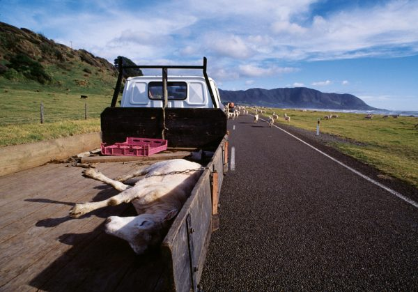 Shepherds and farmers mix old ways and new on the Coast. Instead of being left behind, a tired ewe gets a ride on the road near Waihau Bay, chained down to keep it from skittering off the tray.
