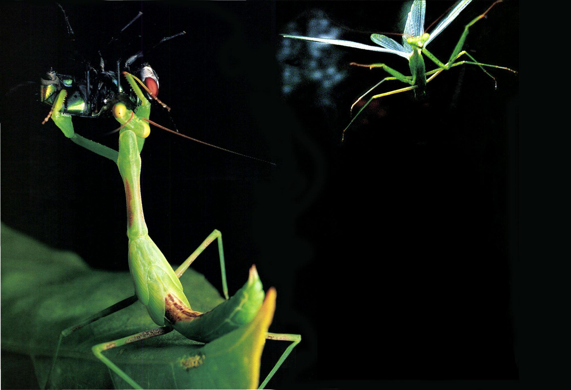 praying mantis eggs for sale australia