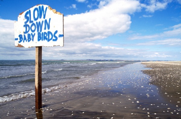 Warning signs and temporary fences during the breeding season at least alert people to the birds' presence, although once fairy tern chicks reach six days old they start to wander and may themselves go outside fenced area.