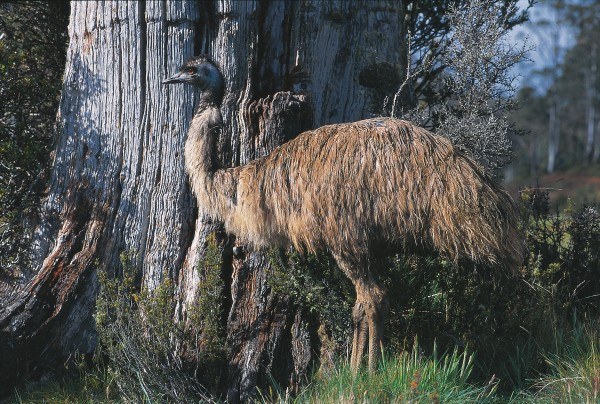 Moa once stalked among the trees of the forest the way this Australian emu does, but unlike emu, which retain small wings, moa had no vestiges of wings at all. On remote Campbell and Auckland Islands, species related to the once widespread endemic brown teal have become flightless. The Auckland Islands bird (below) fossicks under vegetation and along the shoreline for food.
