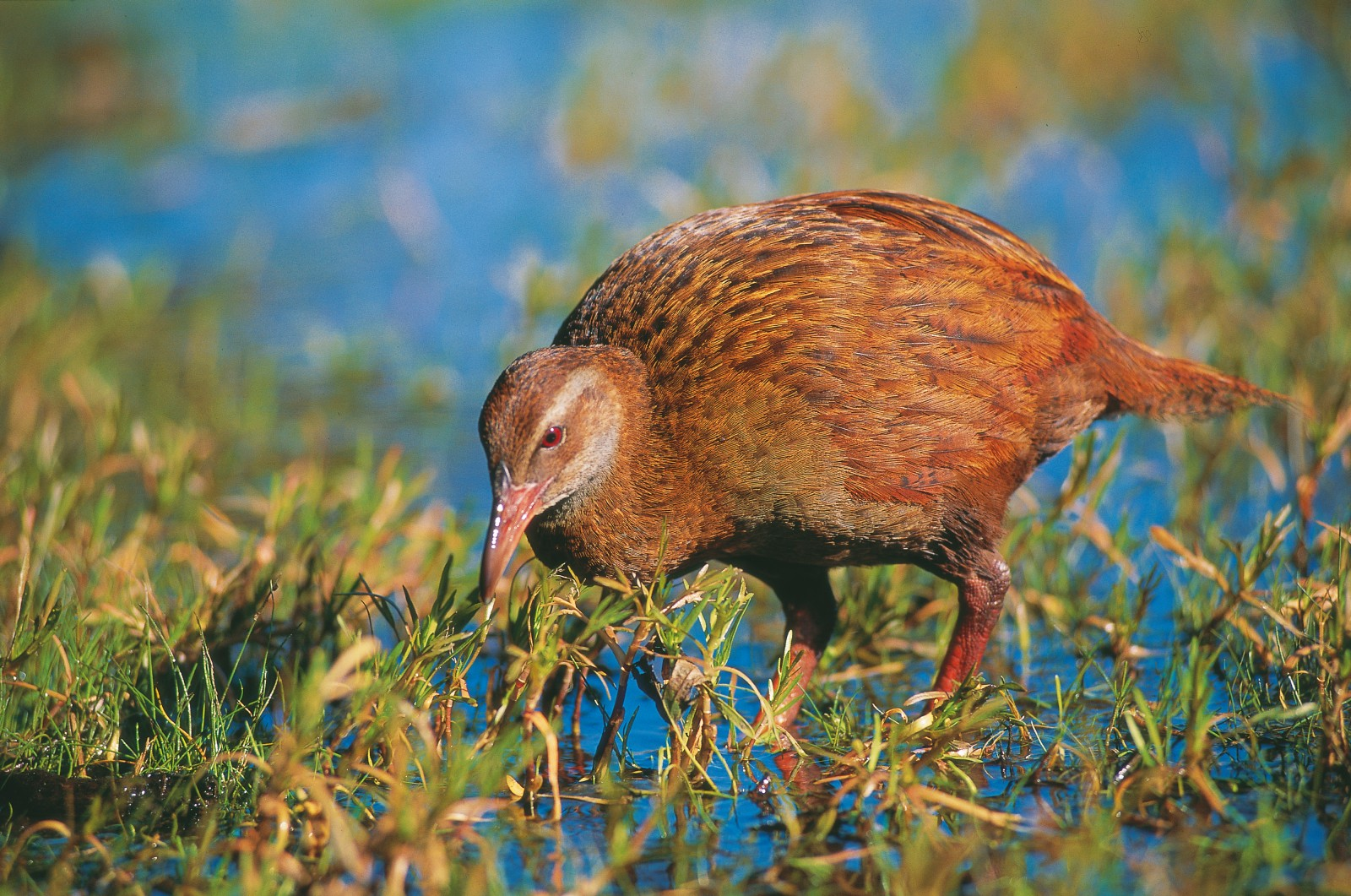 The weka's inability to fly has been offset by its great resourcefulness. Weka kill and eat rats and mice, spear and remove the eggs of other birds and browse on plant matter. Their diet also includes snails, worms, insects and even young petrels and penguins.