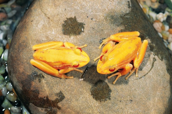 Without its green pigment. the green and golden bell frog becomes a red-eyed yellow-skinned albino. This pair developed in captivity from a batch of pale-coloured tadpoles collected in the Waikato.