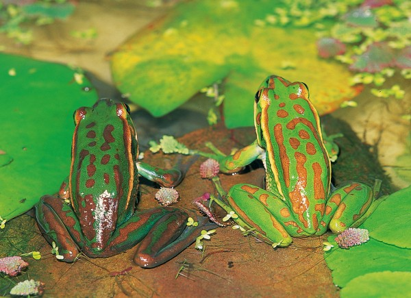 Frogs have the ability to change colour, within certain limits.The individual on the left was placed on a dark substrate, and the one on the right on a light background, before being brought together for this photograph. A hormone released from the pituitary gland choreographs the changes by causing melanin and other pigment elements within special skin cells to redistribute.