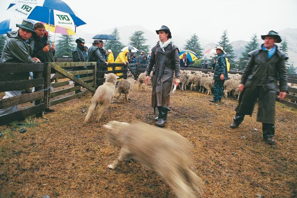 Oilskins had their first airing for weeks at the 18th annual Awatere Merino Fair, held in March. The absence of footrot in this valley means that local sheep are in demand from farmers elsewhere. While the rain during the sale was more than welcome, a lot more will be required to get grass growing vigorously again, and farming consultants say it will take 18 months for some farms to recover from the drought.