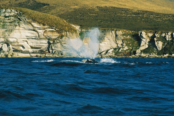 A V-shaped spout is one of the features that enable right whales to be identified from a distance. Two others are the lack of a dorsal fin and the presence of callosities--barnacle- encrusted growths on the whales' heads.