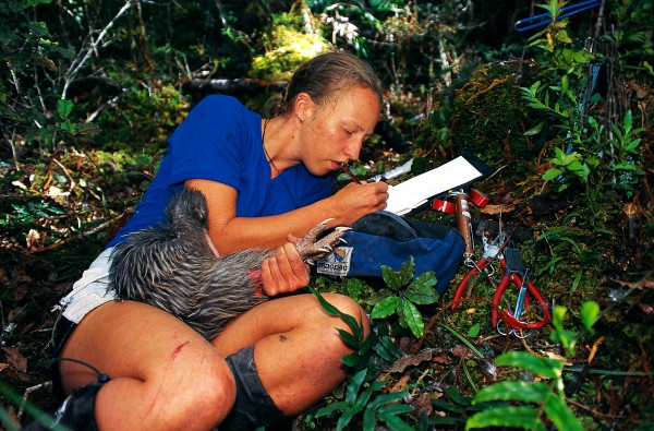 Selena Brown, a Department of Conservation worker from the West Coast, jots down details of a rare Okarito brown kiwi whiLe keeping a finn grip on its powerful legs. The Okarito birds, of which no more than J60 exist, occupy a mere J00 sq km afforest near Franz Josef GLacier