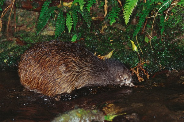 Some kiwi seem to have deveLoped a taste for the Large crustaceans, and actively hunt them aLong the edges ofstreams and even in the water.