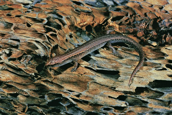 New Zealand's smallest native lizard, the copper skink (up to 62 mm, excluding the tail), is widespread in the North Island. It is found in forest, open areas with ground cover, and on the seashore near the high-tide mark. It has also taken to life in the suburbs, making itselfparticularly at home in rock gardens and compost heaps.