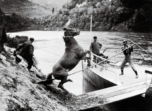 The riverboats of the Whaganui were the main means of access for the isolated farms and settlements strung along the river's serpentine length, and provided an indispensable freight and postal service. For passengers, watching such tasks as horses being transported added to the drama of river travel.