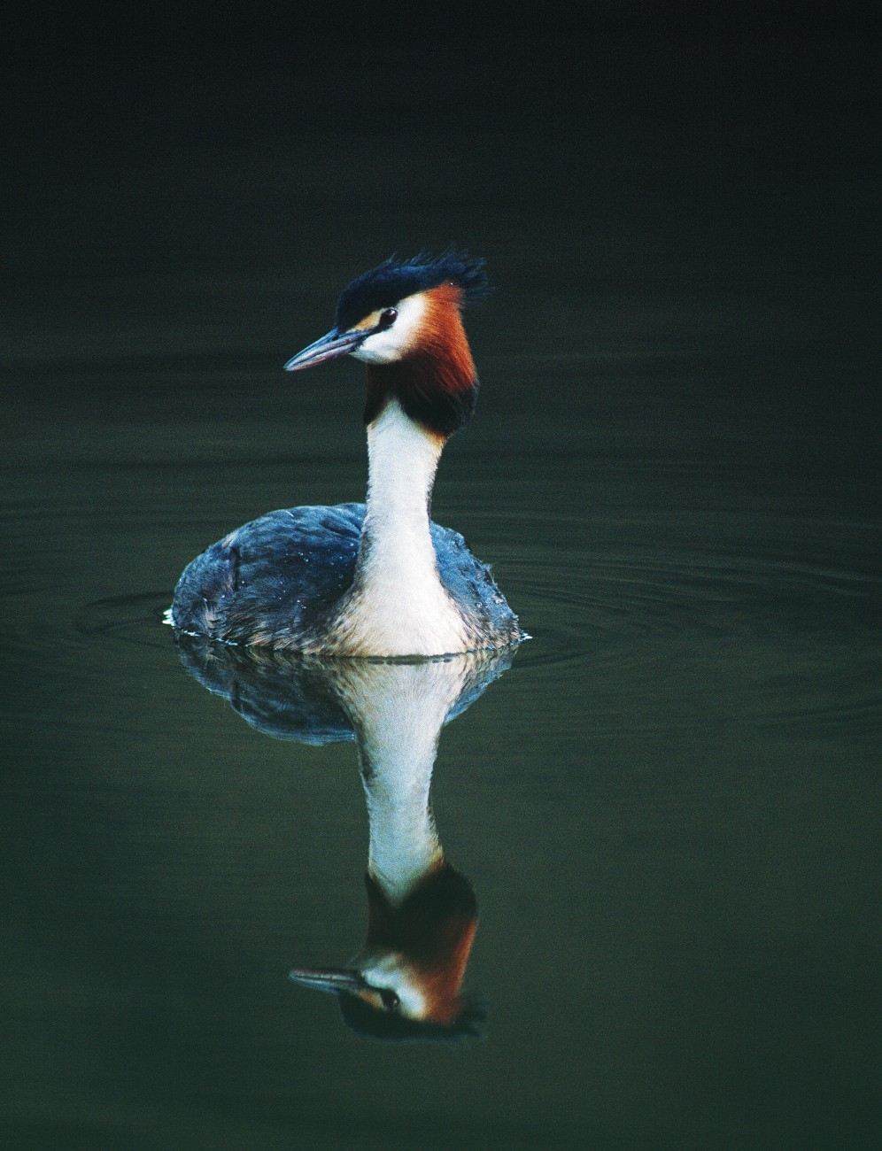 Although grebes are capable of flight-even long flights-their wings are small and they are most at home on water. Unlike the majority of birds, they have almost no tail, and the legs are positioned so far back on the body as to make walking awkward.