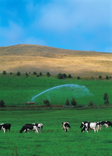 On the chronically parched east coast of the South Island, the limit of the irrigator's jet is the boundary between dairy pasture and desert. Travelling irrigators such as this creep across the land like a plague of strange metal insects-except they leave greenery in their wake.