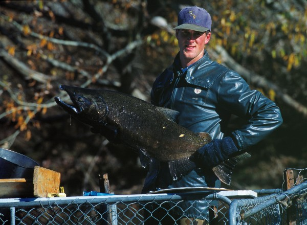 Fish & Game Council field officer Lawson Davey holds a mature salmon captured in a trap on the Hakataramea River. The trapping programme was carried out to determine the size of the salmon spawning run and the length of time fish stay in the tributary.