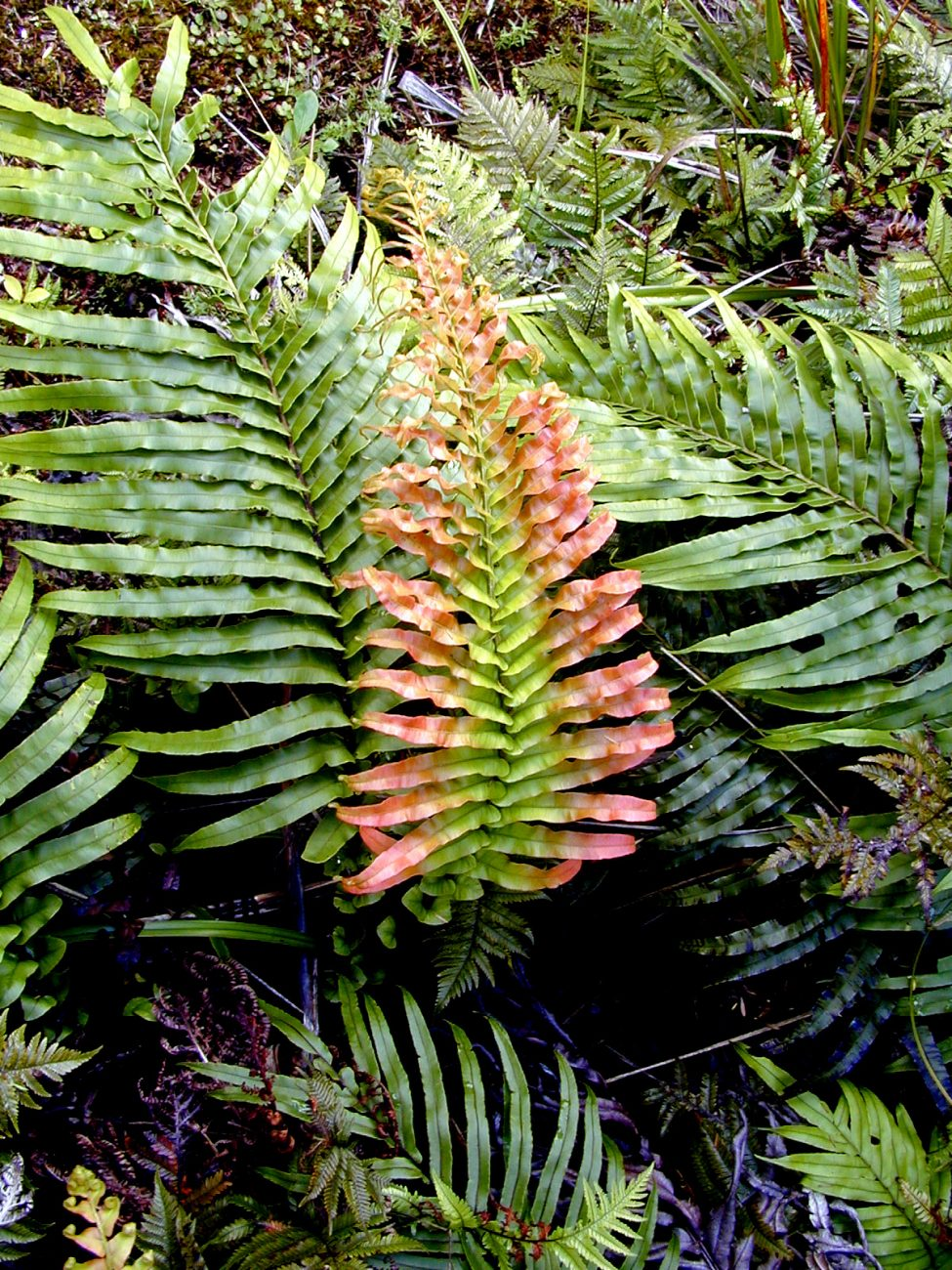 Red pigments occur throughout the plant kingdom. The brown colour of the mosses at top are a mixture of red and green pigments, while new growth in ferns (Blechnum, as seen here) and podocarps (rimu) also has a rosy hue. In all cases the red pigments are anthocyanins, familiar also in cherries, grapes, roses and radishes.