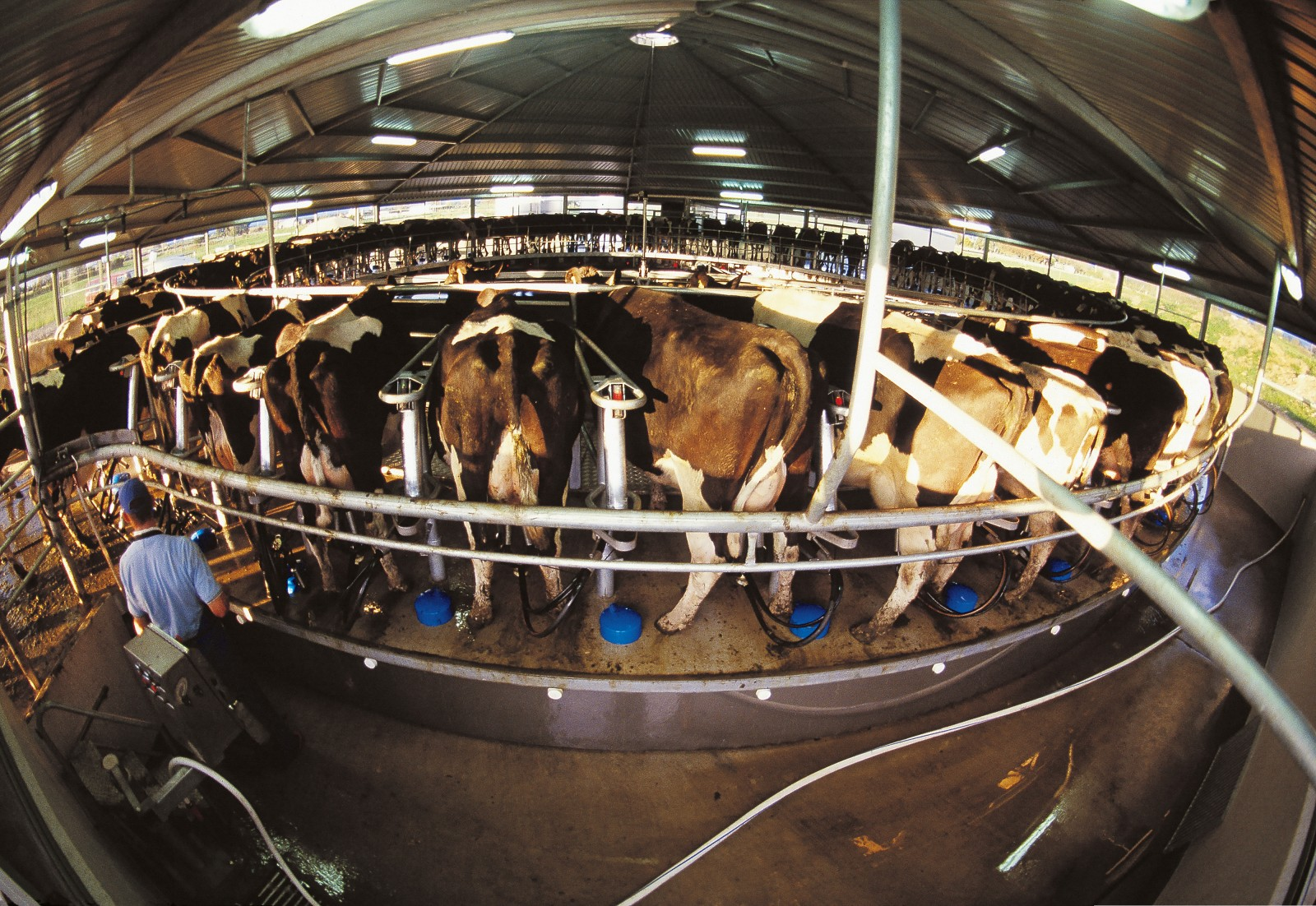 Eighty per cent of the country's dairy cows are inseminated through the corporation's artificial breeding programme, including those on Trevor Aitchison's farm on the Hauraki Plains. In his new rotary shed, the cows step onto a slowly turning platform and have the cups attached—here by Trevor's son Karl. When the cows have completed the circuit the cups are removed automatically, enabling Karl to milk 600 cows singlehandedly in an hour.