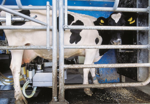 Is hands-free milking the way of the future? Research organisation Dexcel's robotic milker suggests it could be. Cows come to the machine to be milked of their own accord, at any time of day or night (around midnight is popular), without human involvement. A moveable metal arm attaches cups to the udder, using a laser system for guidance.