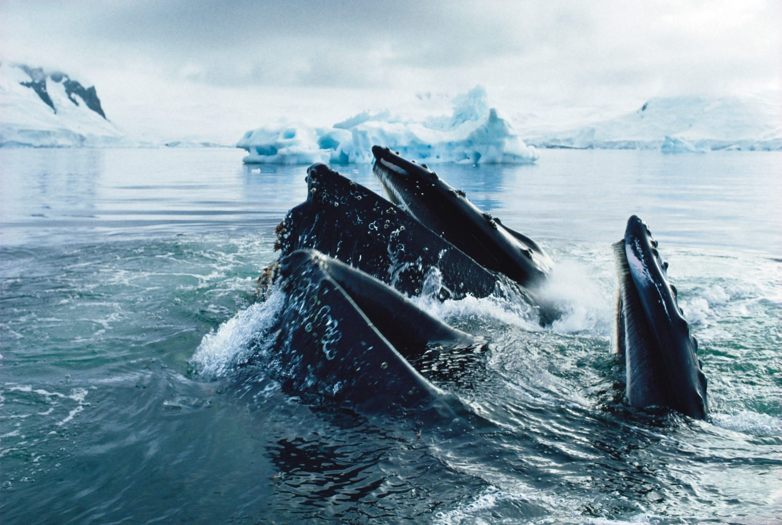 Humpback whales (Megaptera novaeangliae) gorge in the krill-rich Antarctic waters. Krill are the cornerstone food of whales, Antarctic fish, seals and birds.