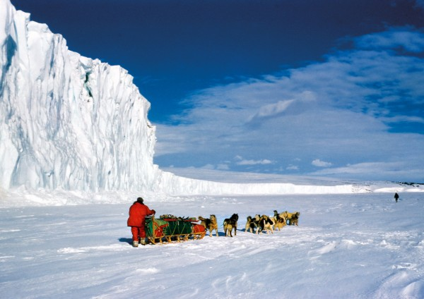 A dog team takes a rest from pulling a heavy load beneath the terminating ice cliff of the Barne Glacier, on the western slopes of Mt Erebus in Antarctica. Until the arrival of all terrain vehicles, dogs were second-to-none for exploring and transporting goods on Antarctic terrain.