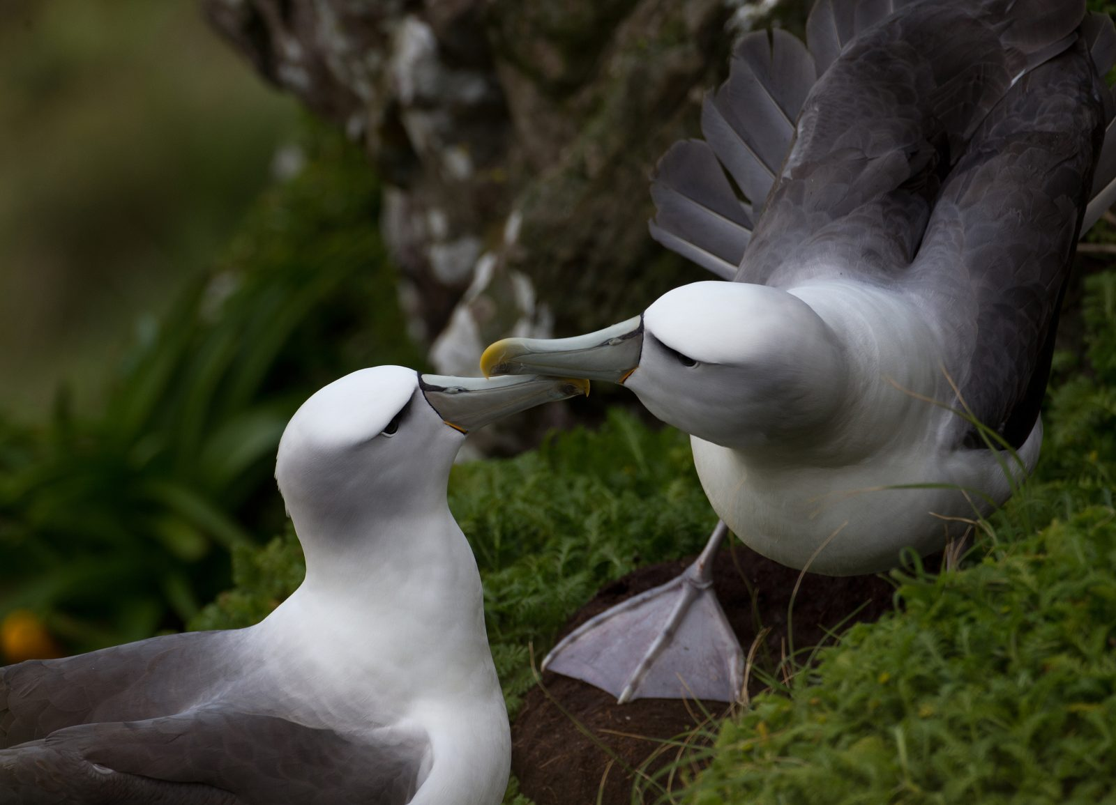 New Zealand and its surrounding islands are regarded as the albatross hotspot of the world, with eight species that occur nowhere else. One of these is the white-capped albatross, which is found in colonies only on the New Zealand subantarctic islands. The largest colony is on Disappointment Island, a rocky islet off the coast of Auckland Island, where an estimated 80,000 pairs breed in a tightly packed chaos of nests. In crowded colonies such as these, material for nest construction is at a premium, and the distance between nests is governed by the reach of the closest neighbours. The colony on Disappointment Island, which contains 90 per cent of the global breeding population, has been surveyed for the past five years. To minimise disturbance and gain a birds' eye view, scientists fly around the island in helicopters, taking thousands of pictures which then have to be painstakingly joined together so that nests can be identified and counted each year. Early indications from this extensive study suggest the population is in decline, but the reasons are not yet known. To shed some light on what these birds do at sea, scientists track individual birds using satellite transmitters attached to the feathers on their back. The transmitters have shown that some birds are attracted to the cast-offs from fishing vessels, and noticeably change their behaviour around them, but how this impacts on the species, or even how it might benefit from the interaction, is still not well understood.