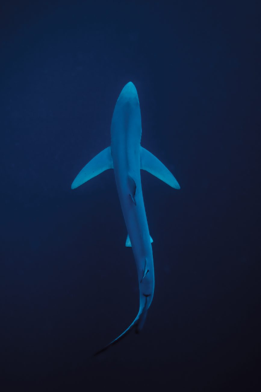 A blue shark returns from the depths into the epipelagic zone of sunlight and warmth, where it will digest its food and rest until the cover of darkness returns at dusk. Researchers are only beginning to understand the movements of open ocean species, and the role they play in the wider ecosystem.