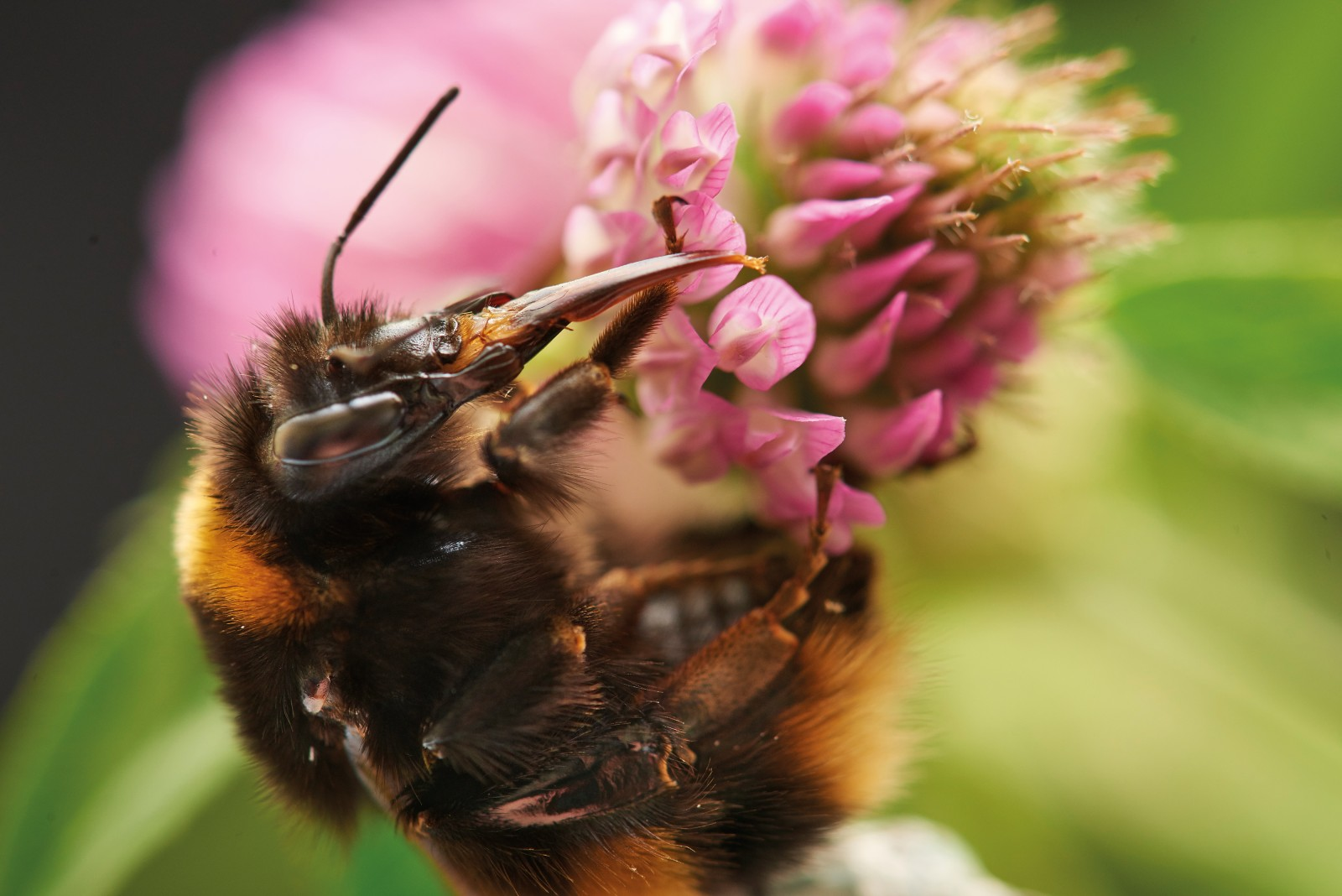 """Bumblebees were introduced to New Zealand to pollinate red clover flowers such as these. This short- tongued Bombus terrestris queen managed to lap up some nectar, but long-tongued species are better at reaching into red clover's deep florets to drink the sweet liquid. The tongues of the two long-tongued bumblebee species in New Zealand are nearly as long as their bodies. Sometimes short-tongued bumblebees """"cheat"""" by puncturing a hole in the side of deep florets to gain access."""