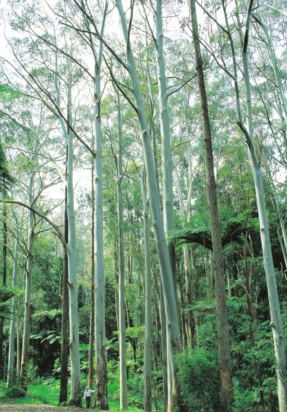 Competition for light in a growing forest produces straight trunks suitable for milling—as in these trees at Athenree (as seen here)—whereas the same species grown in the solitary unconfinement of park or field will send out a riot of branches, resulting in an attractive canopy but a trunk of little worth. Among the estimated 800 species of eucalypt are scores that produce valuable timber, and worldwide eucalypts are the most widely planted hardwoods.