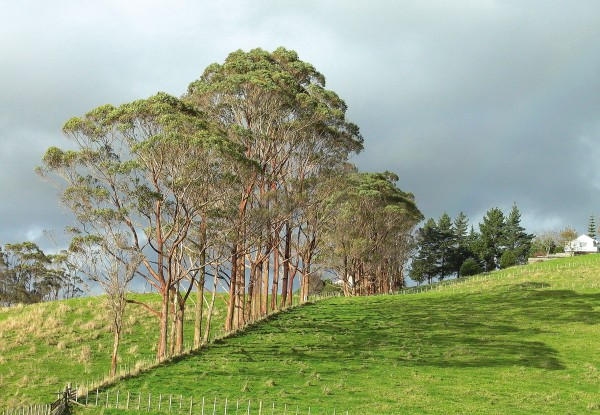 Eucalypts Trees Of The Future New Zealand Geographic