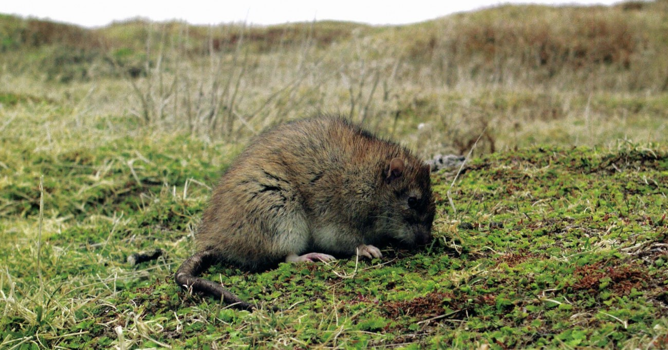 Rat Invaders Islands Fighting Back Against Killer Rodents: Exterminators To The World