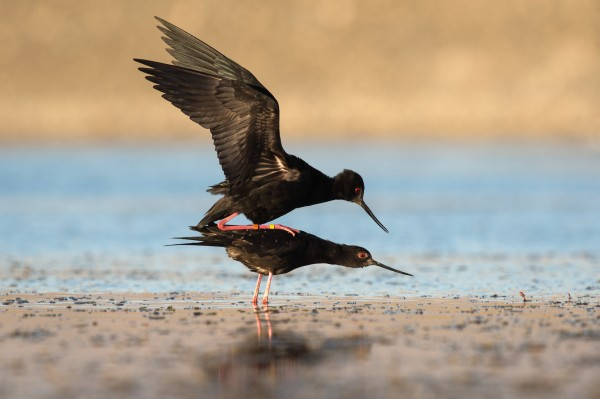 "Kakī have a complex pre-mating display, says Cody Thyne, which is alternately amusing and romantic to observe. ""The female stands out in the water, rigid, then the male dances around in a U-shape behind her, flicking water everywhere,"" he says. After the act, the pair runs across the water together, their bills crossed."
