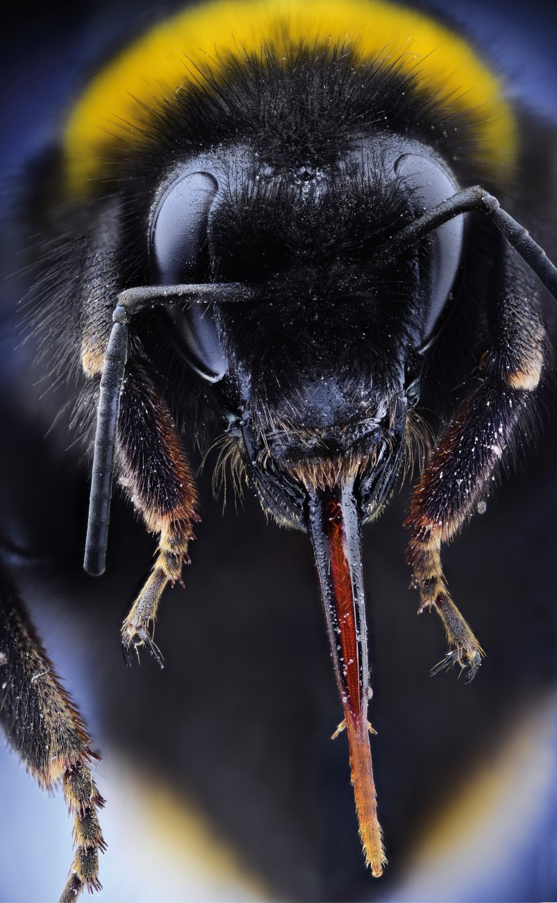 Like other bees, the bumblebees' large compound eyes cannot see red, but can see ultraviolet light that humans cannot. In addition, three jewel-like 'primitive eyes' that detect changes in light intensity can be seen in the hairless patch between the top of the large eyes.