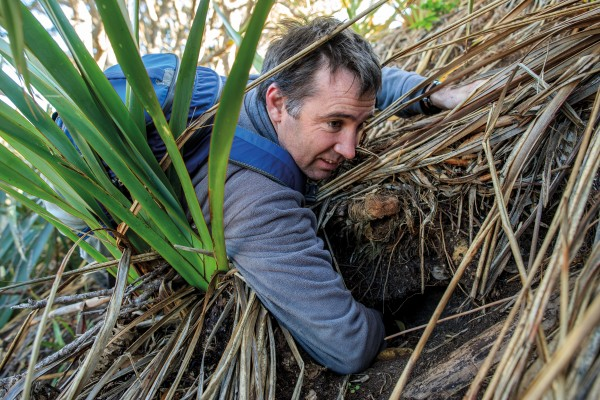"Miriam Ritchie, Woody and Moss sweep Motukaha Island for pests, while Pete Corson inspects a seabird burrow on the island's crown for newcomers. Prior to the eradication, just two of these burrows were occupied, today some 80 host chicks. The rate of recruitment is ""incredible"", says Corson."