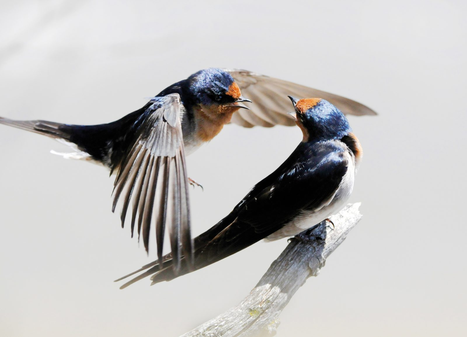 Welcome swallows move so quickly when they are courting that only a photograph can truly capture the experience, says David Hallett. He saw this pair near a nesting site at the southern end of Lake Ellesmere, one of his favourite locations. The whole episode was over in three minutes. The pair flew in, interacted four times, then flew off together.