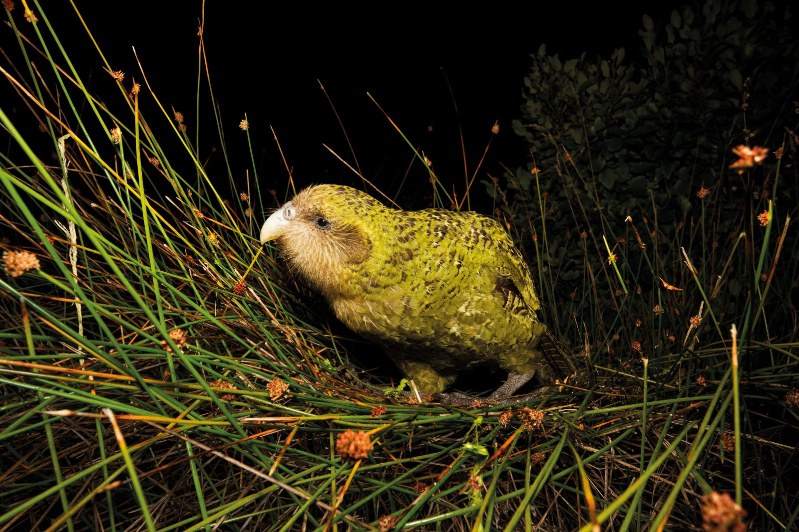 Rooster, a young male kākāpō, died suddenly at the age of four. A postmortem showed that a fungal infection had spread throughout his body, and it was suspected that there was a genetic basis to his illness, as several young kākāpō to have recently died young had been fathered by the same male, Basil. When the kākāpō genome is complete, researchers will investigate the MHC allele, which is connected to immune response to pathogens.