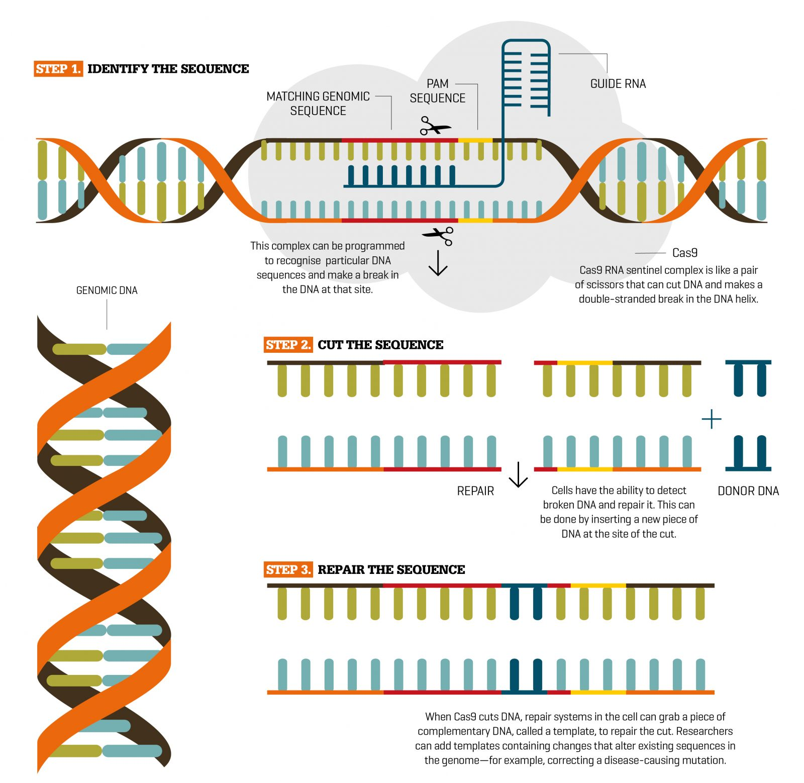 Imagine editing a spool of film. You need to find the right point in the footage, cut out a sequence of frames, and splice in new frames to make the film tell a whole new story. The only difference when using genomic DNA is that the editor must find the the right part of the sequence using a guide of matching RNA, cut the sequence using another RNA tool called Cas9, then as the cell begins to repair itself, offer it new DNA instead. And just like that, you're editing the stuff of life.