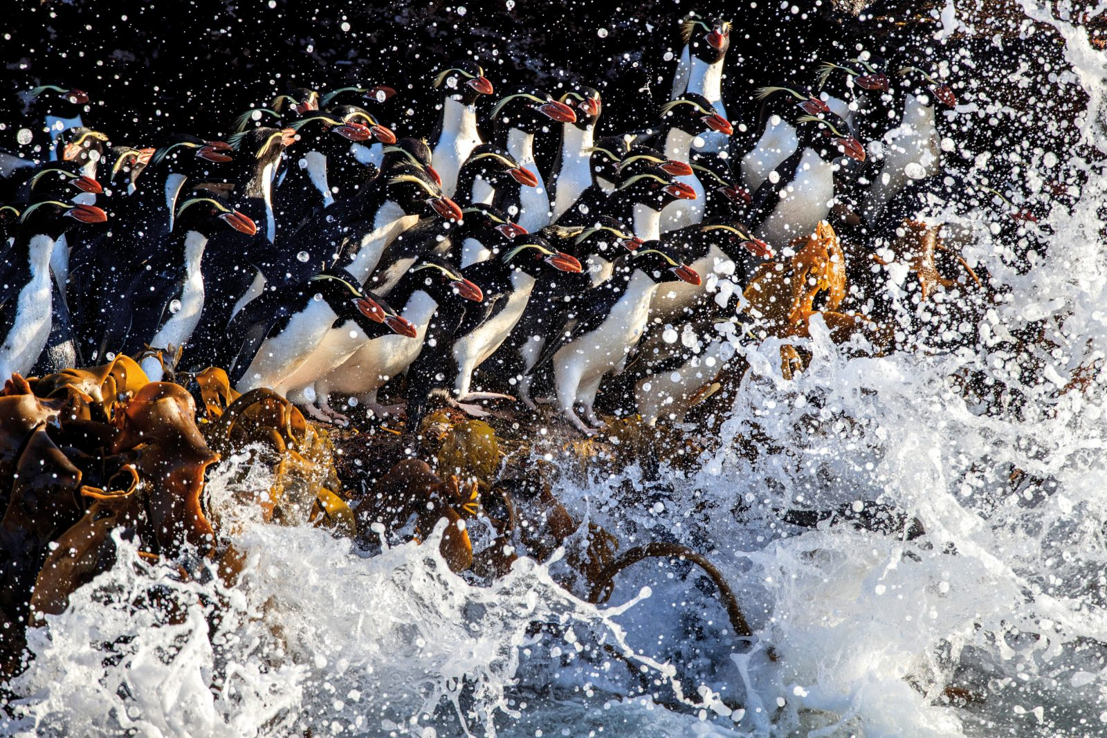 Snares crested penguins take to the sea to forage for food. Highly productive conditions around the Snares Islands make them an ideal place to raise their young. Stable isotope studies of living and historical specimens show that ocean productivity and the diet of the penguins here have remained unchanged for 120 years. This is in stark contrast to Campbell Island, where a change in ocean productivity appears to be responsible for a massive decline in rockhopper penguins. The Snares' environmental stability and pest-free status make them invaluable as a scientific control for penguin studies around the world.