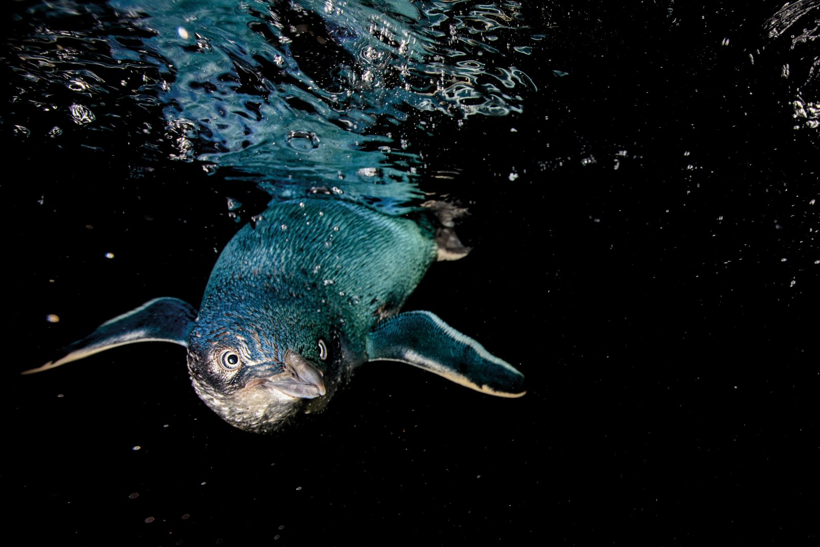 The little blue penguin's unique sheen is created by nanostructures in the feathers that scatter light in such a way as to create an aquatic hue. Interlocking feathers are a penguin's waterproof insulation from the cold that would otherwise kill them, so they take meticulous care of them—carefully preening and oiling their plumage after each swim. They must remain ashore for several weeks during their annual feather moult, during which time they are unable to feed and lose a lot of condition.