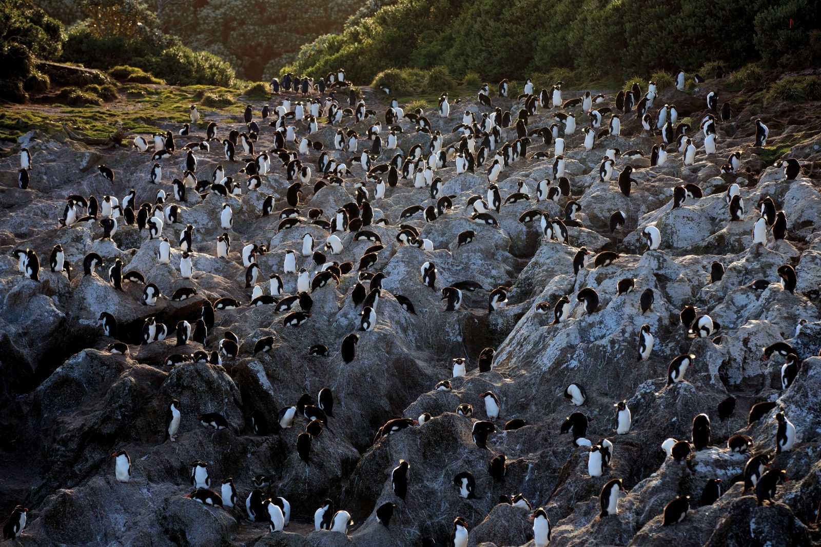 Snares crested penguins clothe exposed granite faces on the island whose name they share. These birds are so closely related to Fiordland crested penguins (tawaki) it has been suggested they should be considered the same species. However, marked differences in their breeding cycles—the Snares birds begin nesting six weeks later than tawaki—make interbreeding highly unlikely. The two birds also have very different nesting behaviours, with tawaki seeking private forest hideaways while Snares crested penguins form crowded colonies.