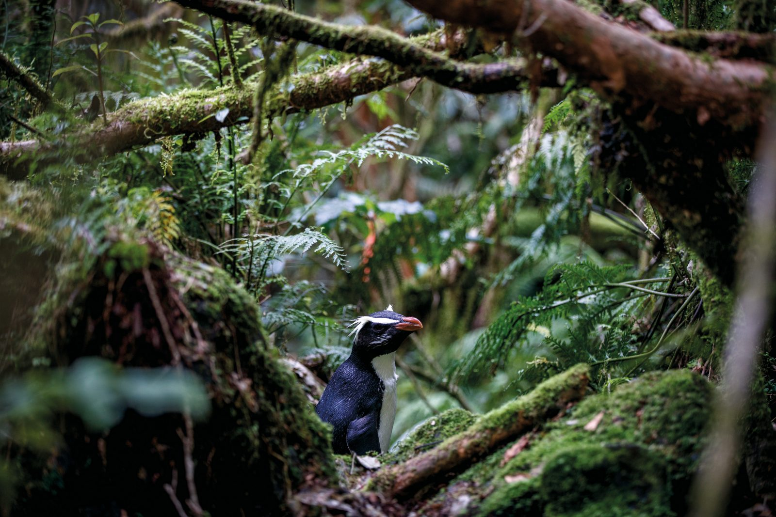 A tawaki returns to its nest in dense Fiordland rainforest. Fossil records suggest tawaki were once found all around the South Island. Their secretive habits may be the result of hunting by humans—the very closely-related Snares crested penguins, isolated on their pest-free refuge south of Stewart Island, are utterly fearless around humans, by contrast. Tawaki are at risk from geological hazards too—tree avalanches are common in Fiordland, as are earthquakes which could trigger landslides that could threaten the population.